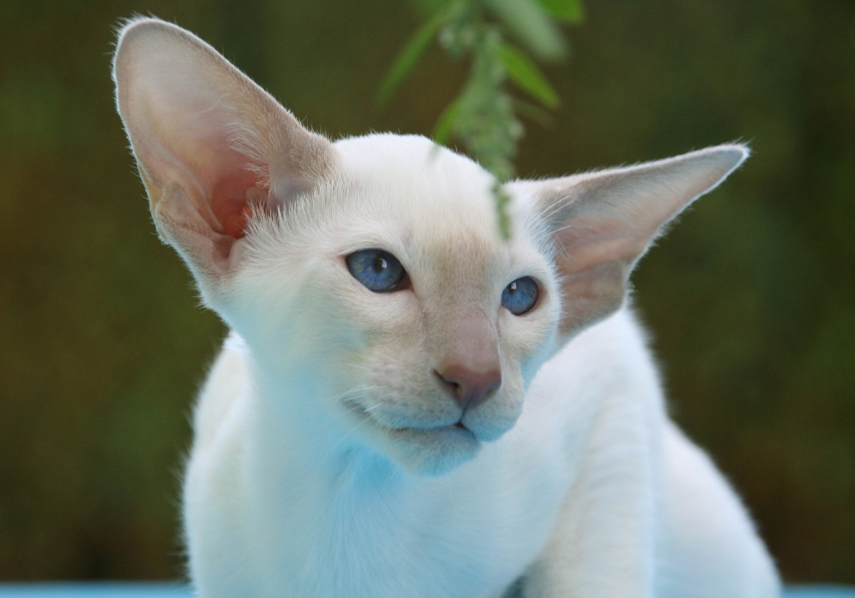 le-chat-angora