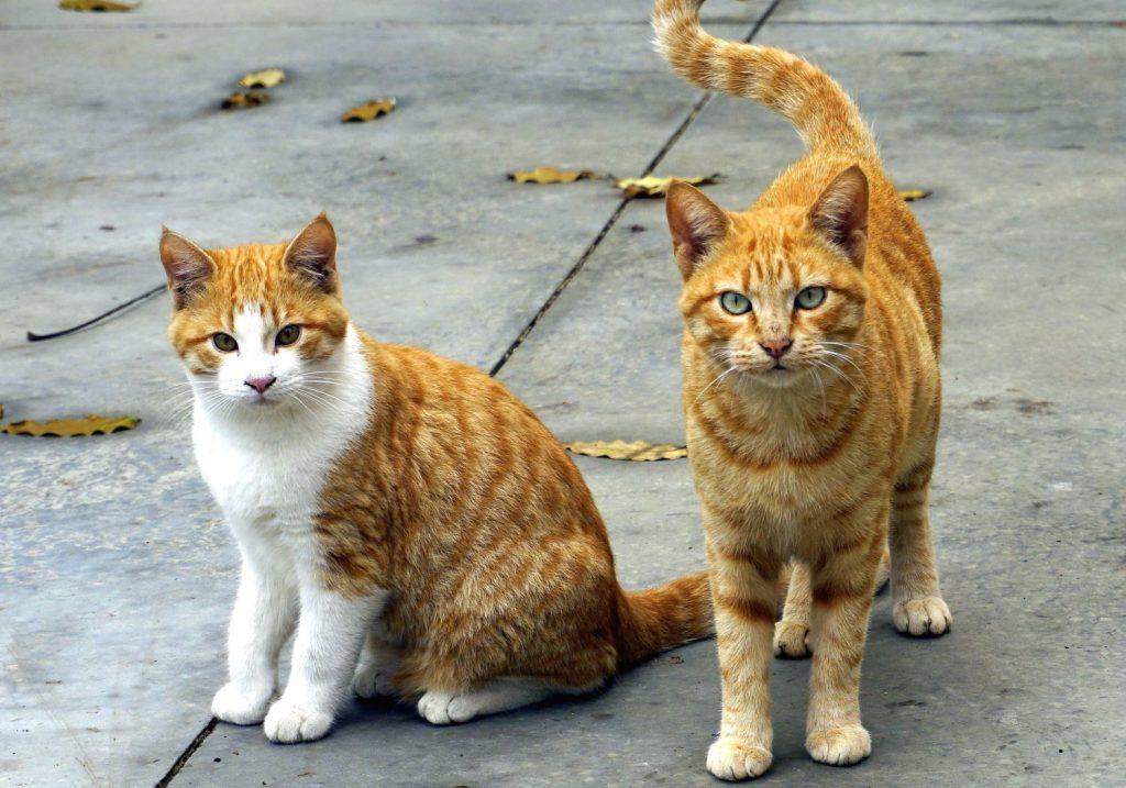 Accueillir-un-chat-de-race-ou-de-gouttiere