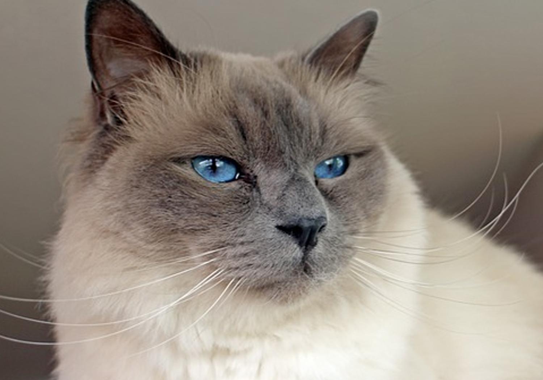 Races de chat : Les choses à savoir sur le chat sacré de Birmanie