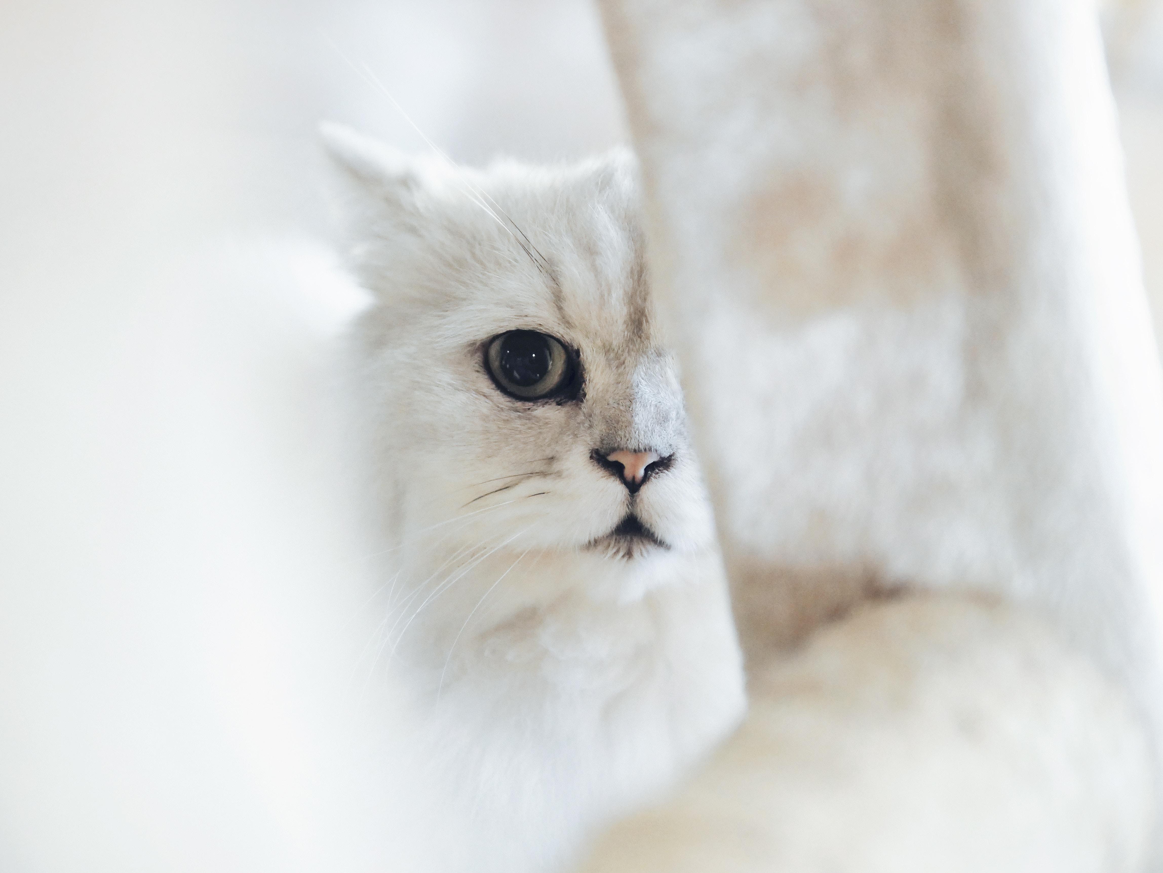 Races de chat : les caractéristiques du chat Angora