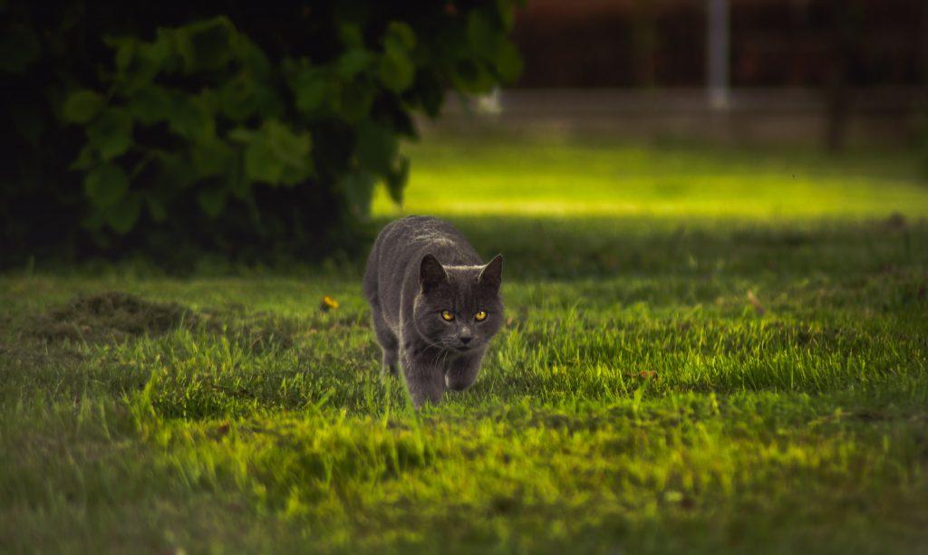 chat qui marche dans l'herbe
