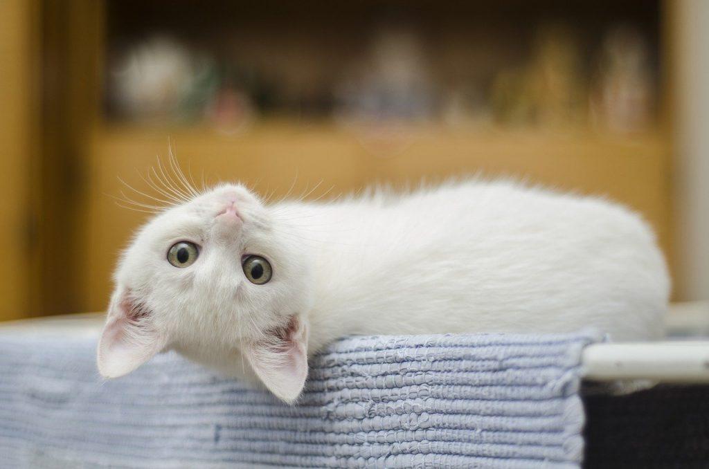 chaton blanc allongé sur une table